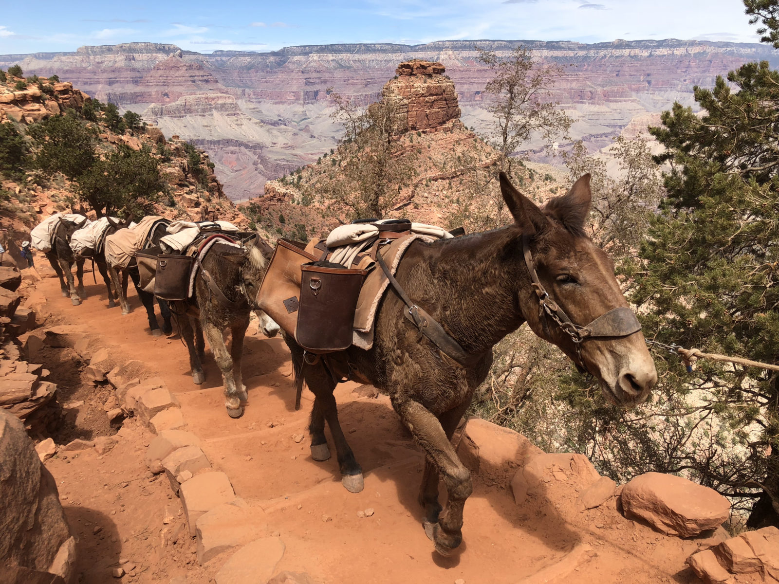 Horses on South Kaibab Trail